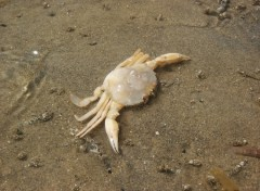 Fonds d'�cran Animaux crab