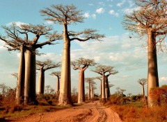 Wallpapers Trips : Africa All�e des baobabs
