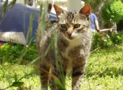 Fonds d'�cran Animaux Chat Turque