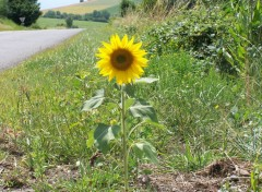 Fonds d'�cran Nature B�b� tournesol au bord d'une route