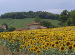 Fonds d'�cran Nature Champ de tournesols