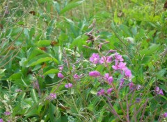 Fonds d'�cran Nature Epilobium