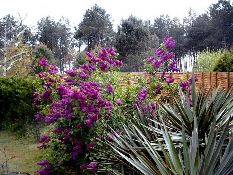 Fonds d'�cran Nature Fleurs Lilas en flaurs