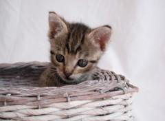 Fonds d'�cran Animaux chaton 002