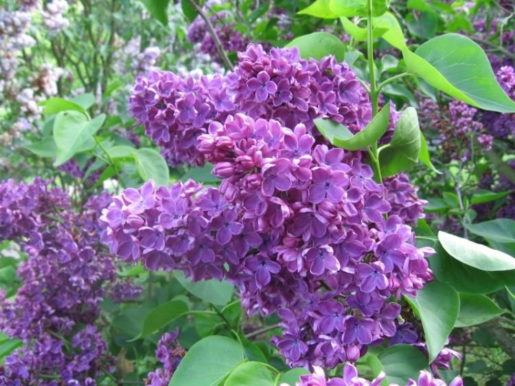 fonds d 39 cran nature fonds d 39 cran fleurs lilas mauve. Black Bedroom Furniture Sets. Home Design Ideas