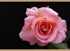 Fonds d'�cran Nature Rose du jardin.