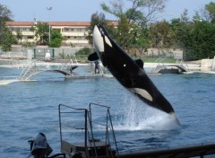 Fonds d'�cran Animaux Orque Marineland Antibes