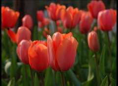 Fonds d'�cran Nature tulipe2