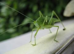 Fonds d'�cran Animaux Le bonjour de la Grande sauterelle verte / Tettigonia viridissima