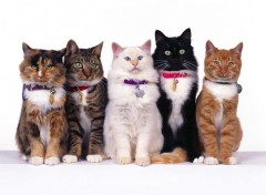 Fonds d'�cran Animaux Cat's