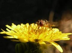 Fonds d'�cran Animaux Syrphe ceintur� (Syrphidae Episyrhus balteatus)