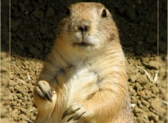 Fonds d'�cran Animaux La marmotte regarde
