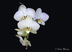 Fonds d'�cran Nature Orchid�s