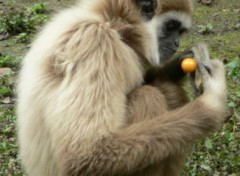 Fonds d'�cran Animaux Gibbon au fruit