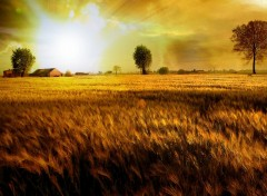 Fonds d'�cran Nature Fields Of Gold