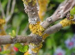 Fonds d'�cran Nature Lichen
