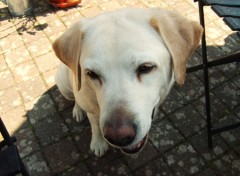 Fonds d'cran Animaux Labrador