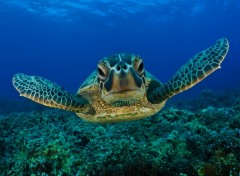 Fonds d'�cran Animaux Tortues de mer