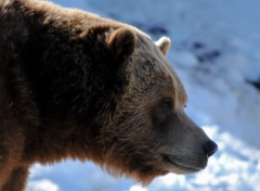 Fonds d'�cran Animaux grizzly