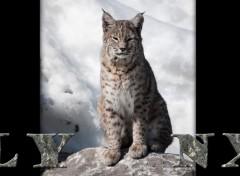 Fonds d'�cran Animaux lynx