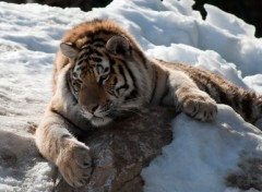 Fonds d'�cran Animaux tigre repos