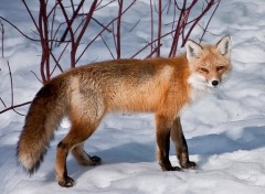 Fonds d'�cran Animaux renard roux