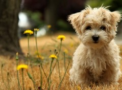 Fonds d'�cran Animaux Puppy