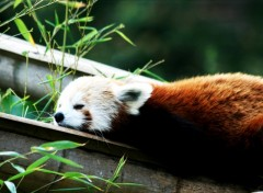 Wallpapers Animals Firefox fait bronzette