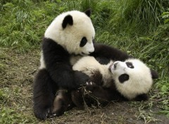 Fonds d'�cran Animaux Two Cute Playing Pandas