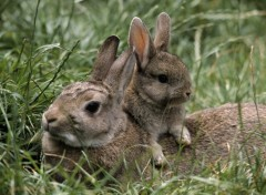 Fonds d'�cran Animaux Very Cute Rabbits