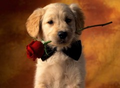 Fonds d'�cran Animaux Puppy With Rose