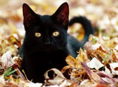 Fonds d'�cran Animaux Black Cat