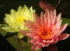 Fonds d'�cran Nature LotuS