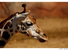 Wallpapers Animals Portrait de Girafe . 2