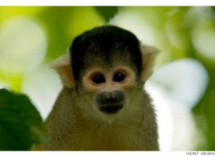 Wallpapers Animals Portrait de Singe . 3