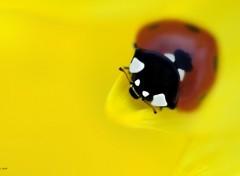 Wallpapers Animals My lady bug (Morbihan)