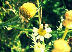 Wallpapers Animals Mini abeille ?