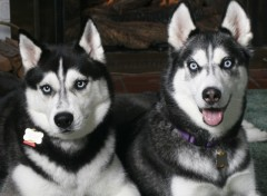 Fonds d'�cran Animaux Husky Brothers