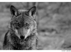 Wallpapers Animals Wolf .3