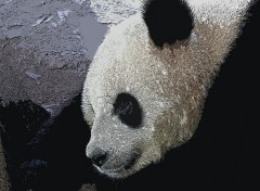 Fonds d'�cran Animaux Panda du Chine