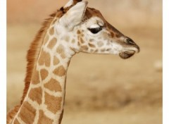 Fonds d'cran Animaux Girafe .2