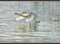 Wallpapers Animals Cygne volant