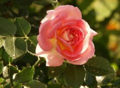 Fonds d'�cran Nature rose