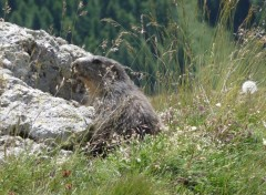 Fonds d'cran Animaux marmotte des alpes