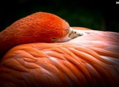 Wallpapers Animals Flamant rose se reposant dans ses plumes
