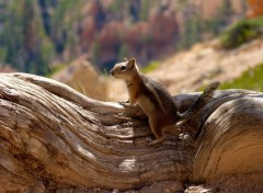 Fonds d'�cran Animaux Little chipmunk