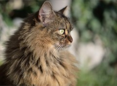 Fonds d'�cran Animaux Portrait de chat