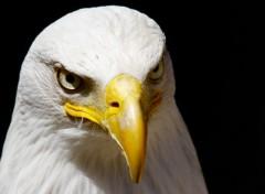 Animals American Eagle