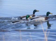 Animaux Canards Colvert