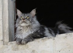 Animaux  Maine-coon